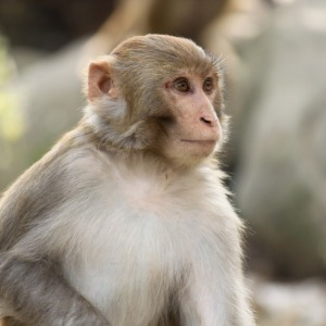 telugu telangana samethalu - monkey